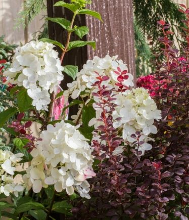 Hydrangea paniculata at Reems Creek Nursery & Garden Center