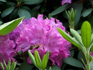 Beautiful Rhododendron selection at Reems Creek Nursery Garden Center & Gift Shop