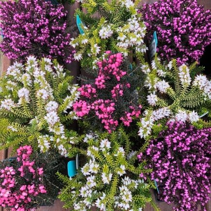 Colorful heathers at Reems Creek Nursery & Garden Center